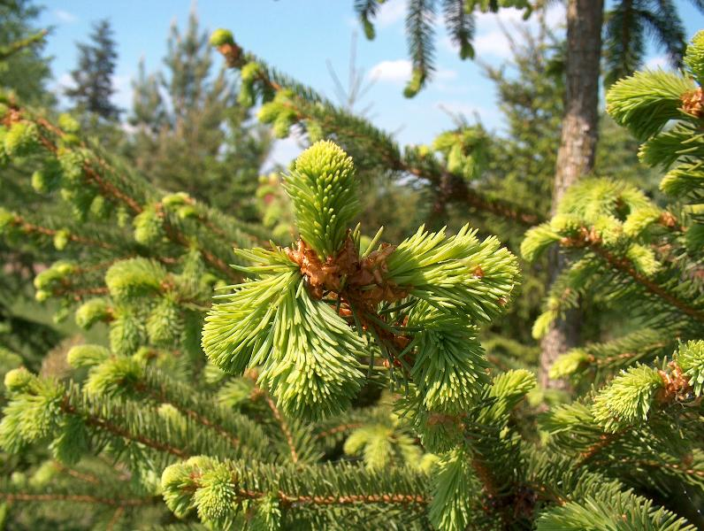 [125] Picea abies (average) (E-Poland)